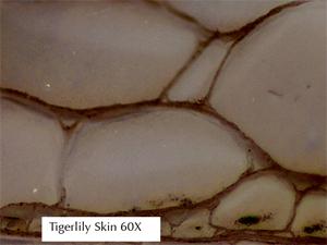 tigerlily-skin-negative.jpg